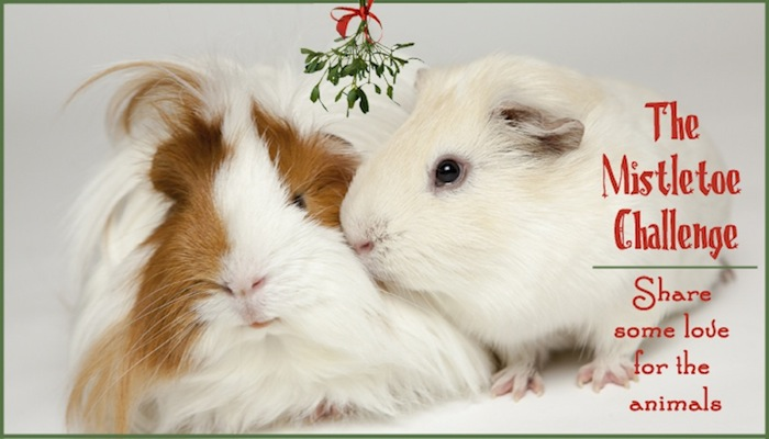 Guinea pigs Fred and Harry kiss under the mistletoe.