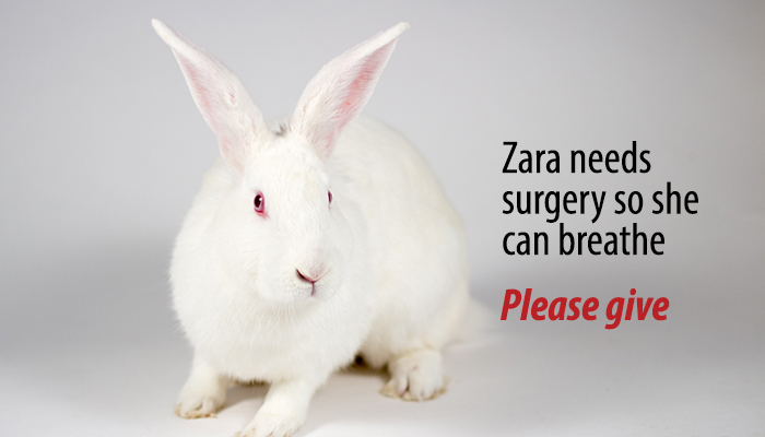 Zara the bunny needs surgery. Please give.