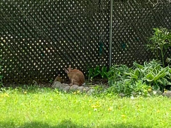 Rabbit outside
